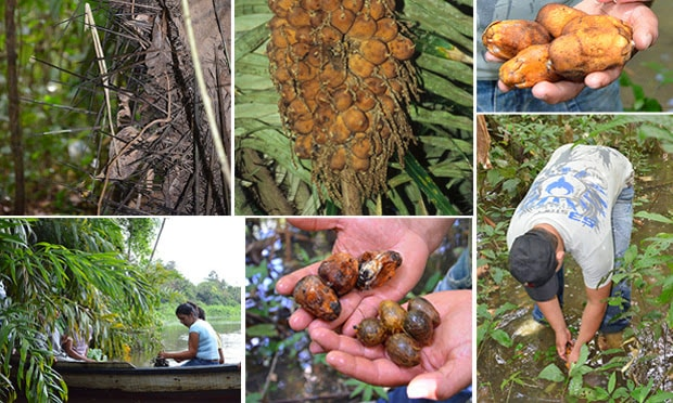colheita fruto murumuru